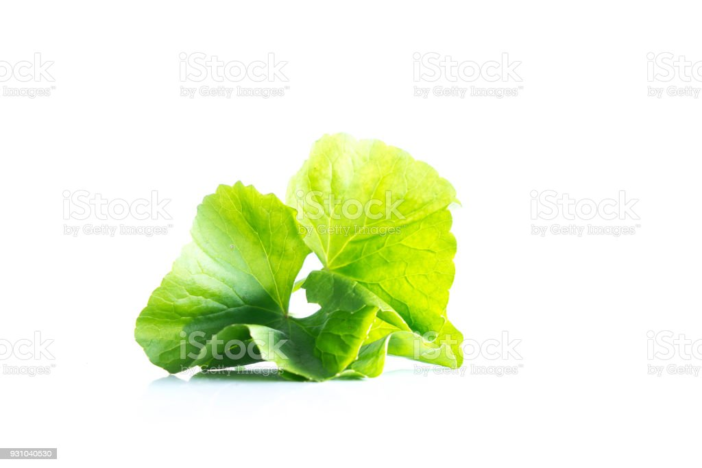 leaf of gotu kola asiatic pennywort on white background stock photo