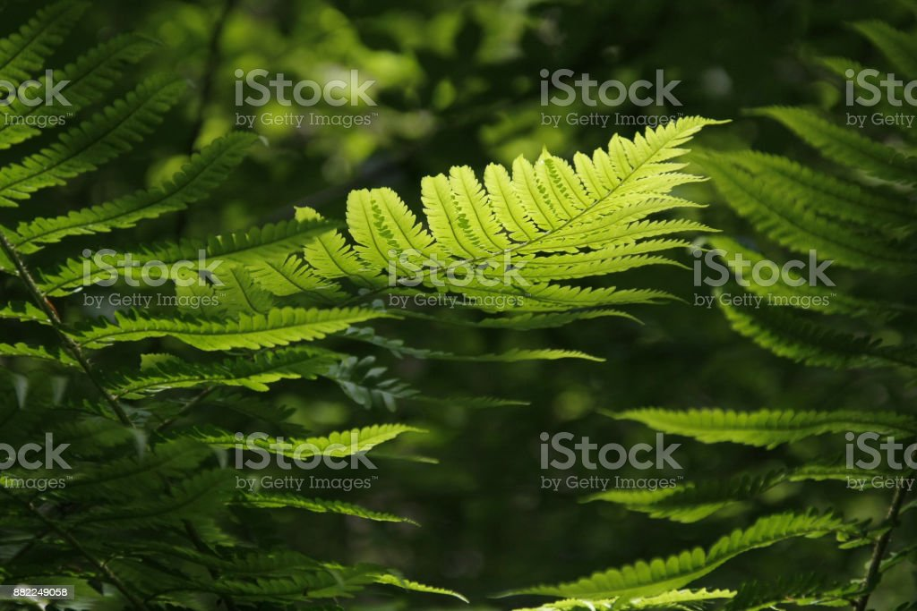Leaf of green fern on a blurred natural background. Polypody plant growing in the woods. stock photo