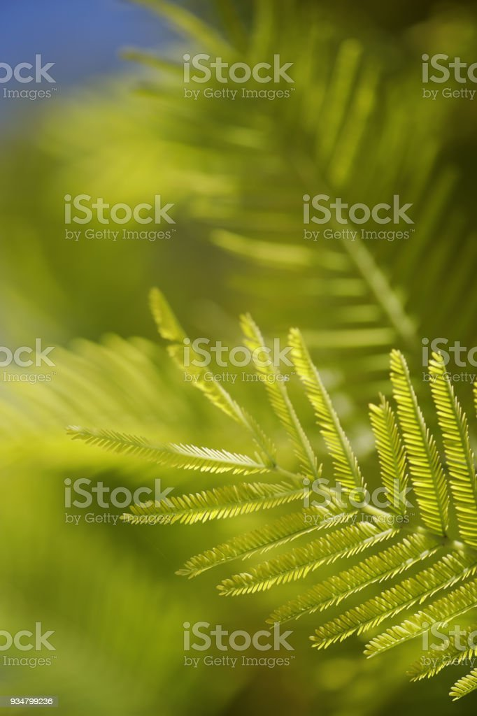 미모사의 잎 - 로열티 프리 0명 스톡 사진
