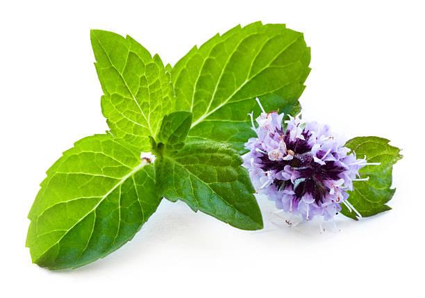leaf of mint with flower - kıvırcık nane stok fotoğraflar ve resimler