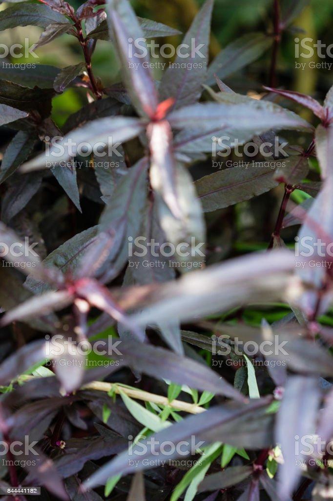 leaf of mukunu wenna alternanthera plant medicinal flower stock photo