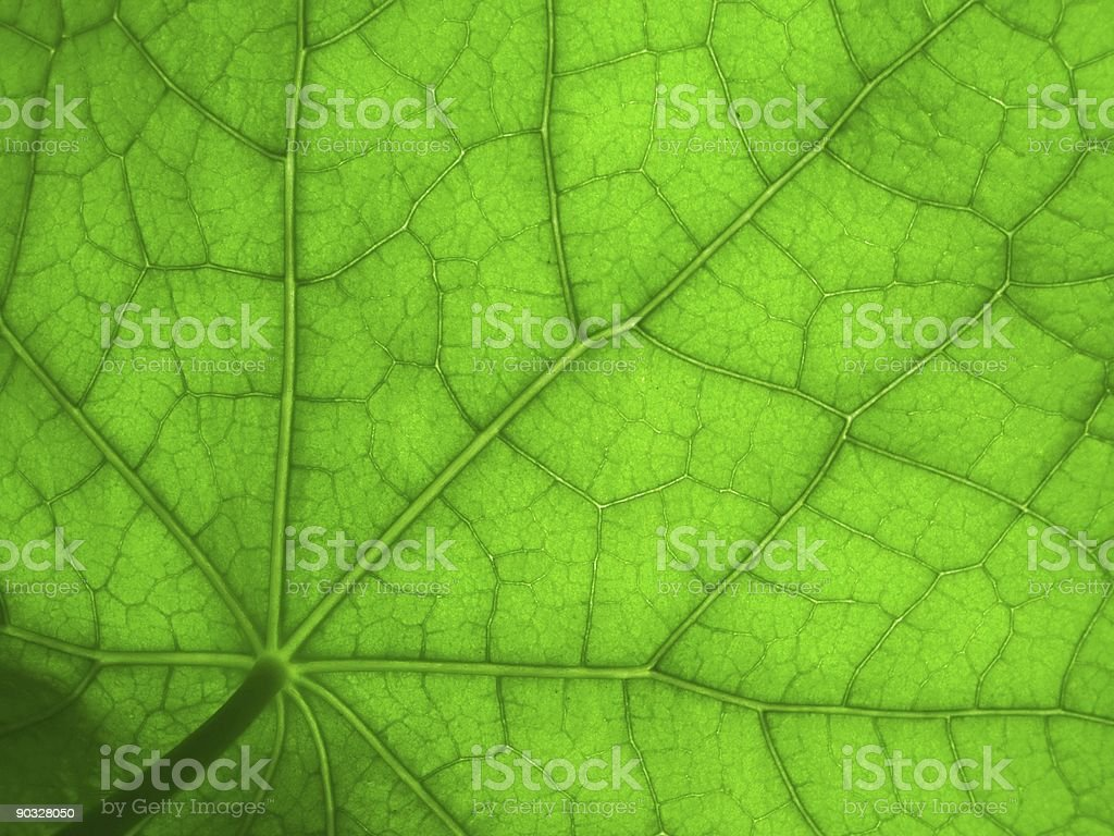 leaf of nasturtium 2 royalty-free stock photo
