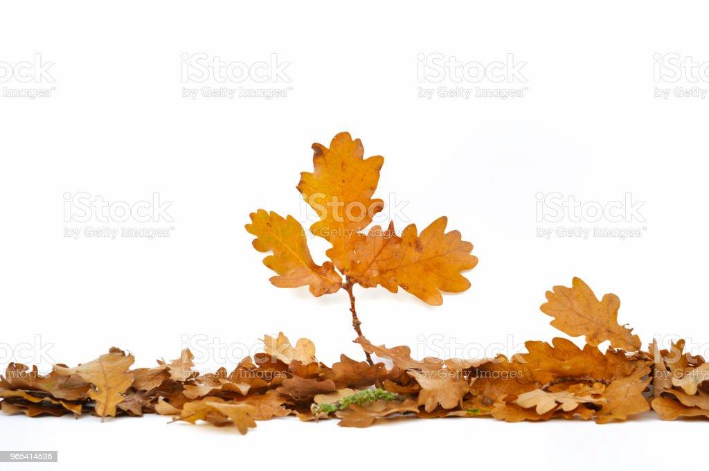 leaf of oak arranged on white zbiór zdjęć royalty-free