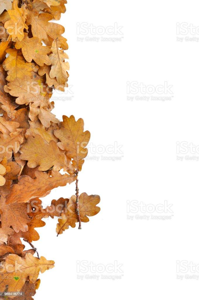 leaf of oak arranged on white royalty-free stock photo