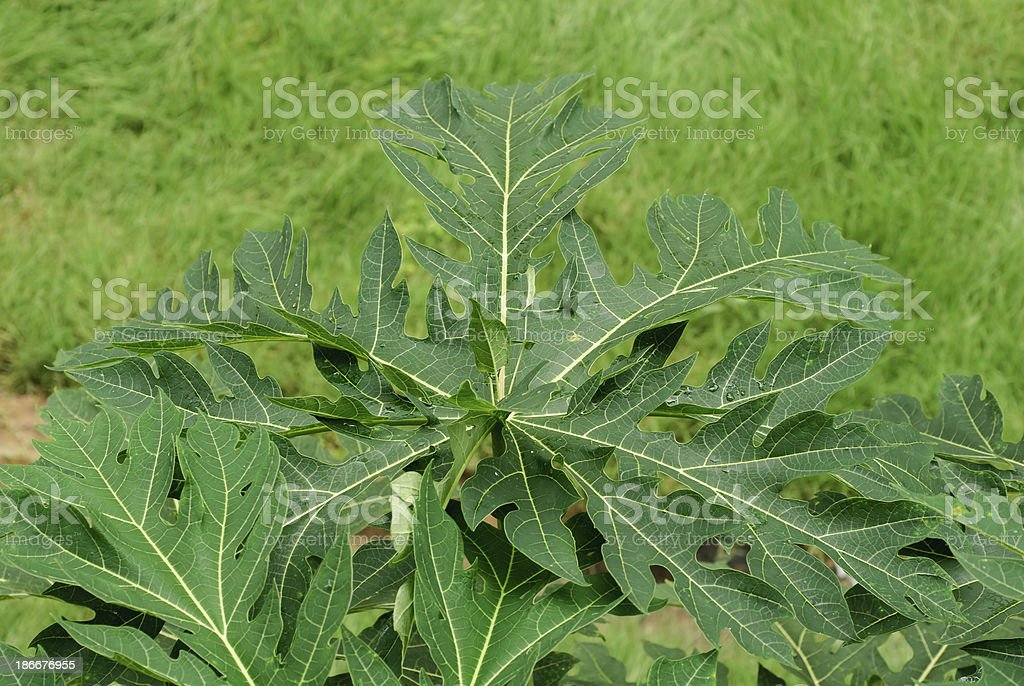 Leaf of papaya tree royalty-free stock photo