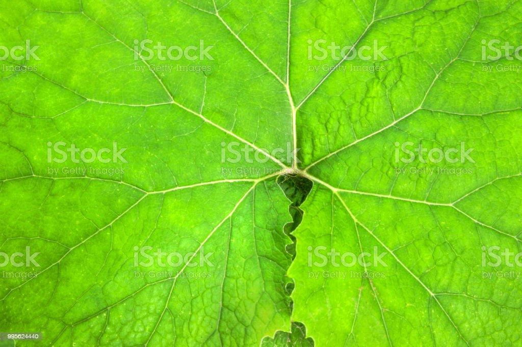 leaf of petasites albus stock photo
