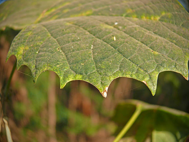Leaf of Platanus orientalis, Chinar, Oriental plane Leaf of Platanus orientalis, Chinar, Oriental plane alternately stock pictures, royalty-free photos & images