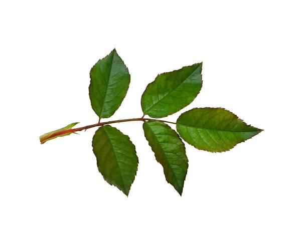 Leaf of rose isolated picture id865537690?b=1&k=6&m=865537690&s=612x612&w=0&h=rn0zmcsl1gffuyi3vfv2zwuvs3ojk6pq6gtmzlwfsek=