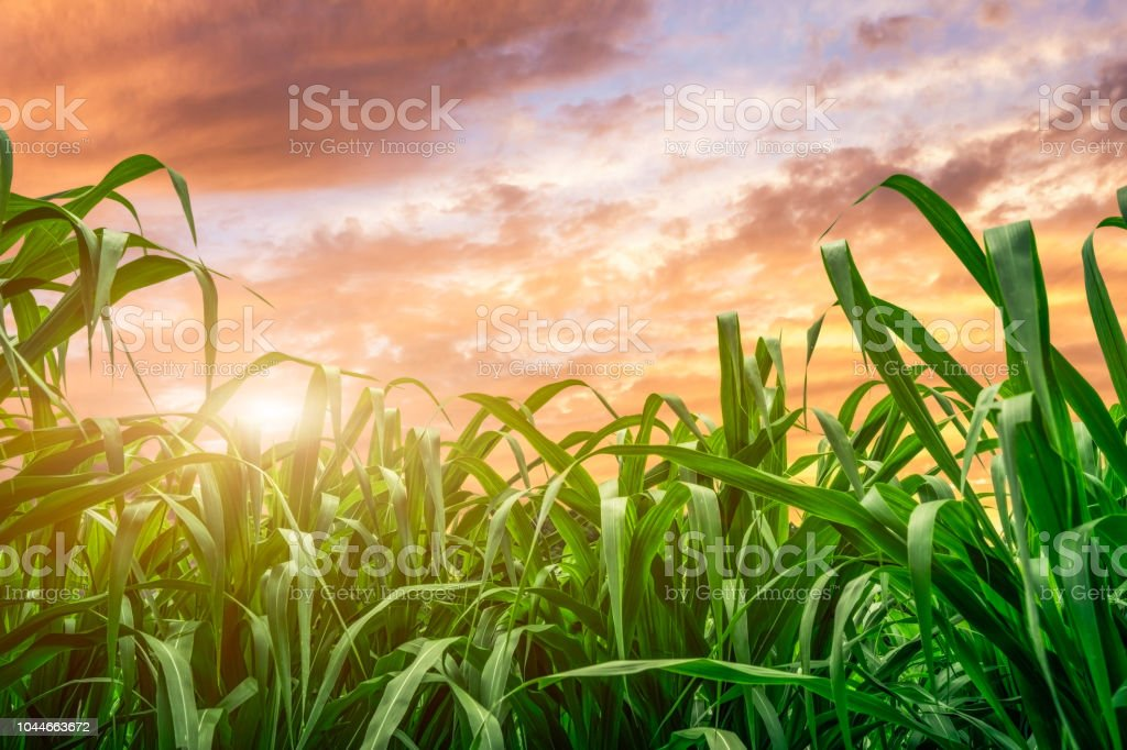 leaf of sugar cane at sunset close up leaf of sugar cane at sunset Agricultural Field Stock Photo