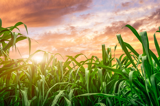 Leaf Of Sugar Cane At Sunset Stock Photo - Download Image Now