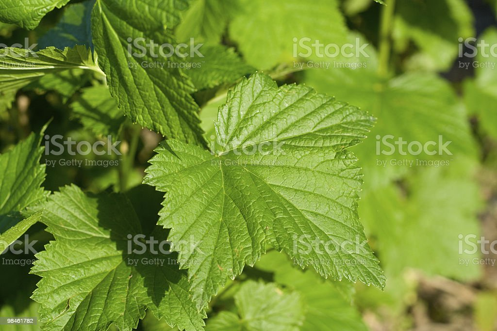 leaf of the black currant royalty-free stock photo