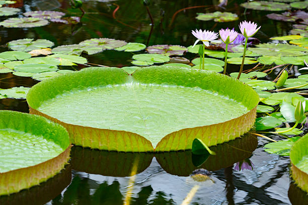 Leaf of Victoria amazonica Victoria amazonica is a species of flowering plant, the largest of the Nymphaeaceae family of water lilies. victoria water lily stock pictures, royalty-free photos & images