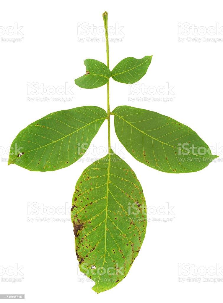Leaf of walnut tree attacked by mite, Aceria erineus royalty-free stock photo
