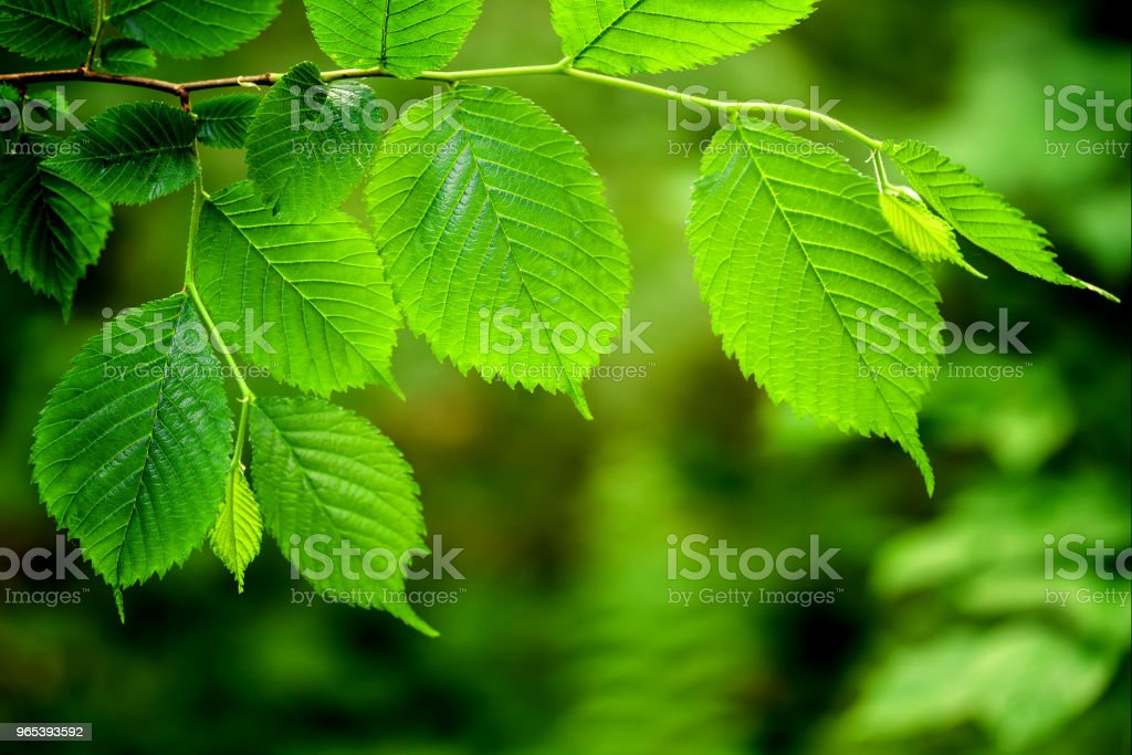 leaf on a tree in the forest.  nature green wood sunlight backgrounds. royalty-free stock photo