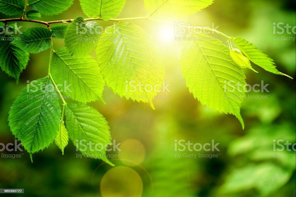 林中樹上的葉子。 自然綠木陽光背景。 - 免版稅光圖庫照片