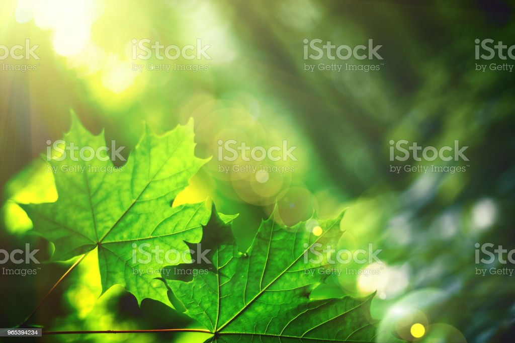 leaf on a tree in the forest.  nature green wood sunlight backgrounds. spring, summer zbiór zdjęć royalty-free