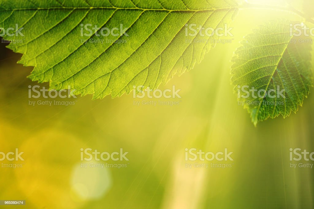 leaf on a tree in the forest. royalty-free stock photo
