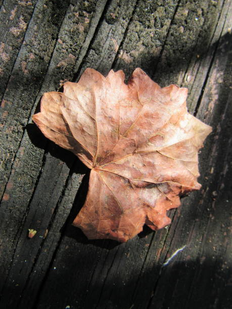 leaf on boardwalk - dianna dann narciso stock pictures, royalty-free photos & images