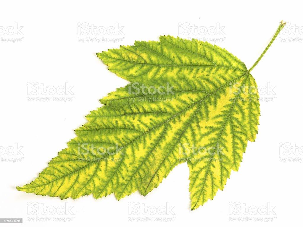 Leaf on white background royalty-free stock photo
