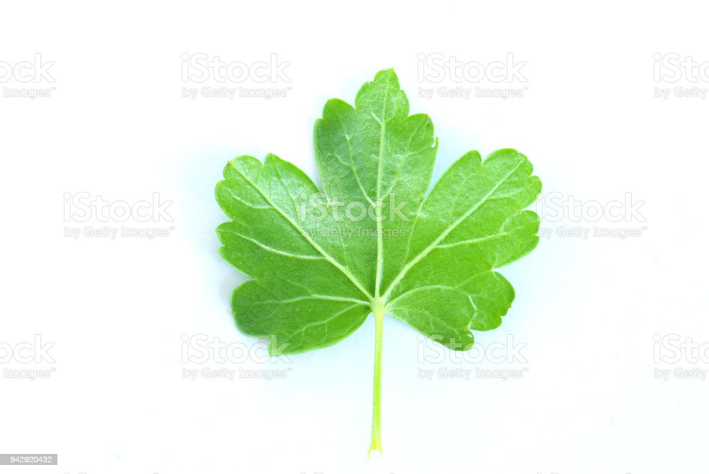 leaf on  white stock photo