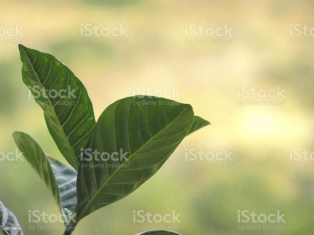 leaf outlet royalty-free stock photo