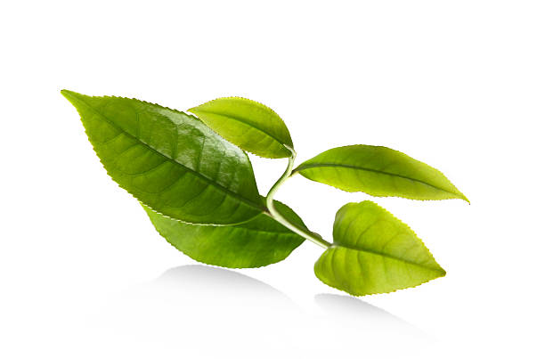 leaf - tea leaf stock photos and pictures