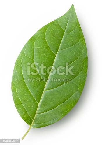 Leaf. Photo with clipping path.