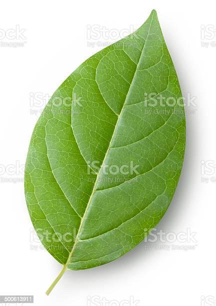 Leaf picture id500613911?b=1&k=6&m=500613911&s=612x612&h=io2ymahbzdycqc75z63yvoo0x41u7d6nxyz 4gpiwm4=