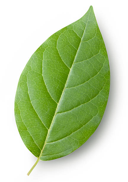 Leaf Leaf. Photo with clipping path.   green leaf stock pictures, royalty-free photos & images