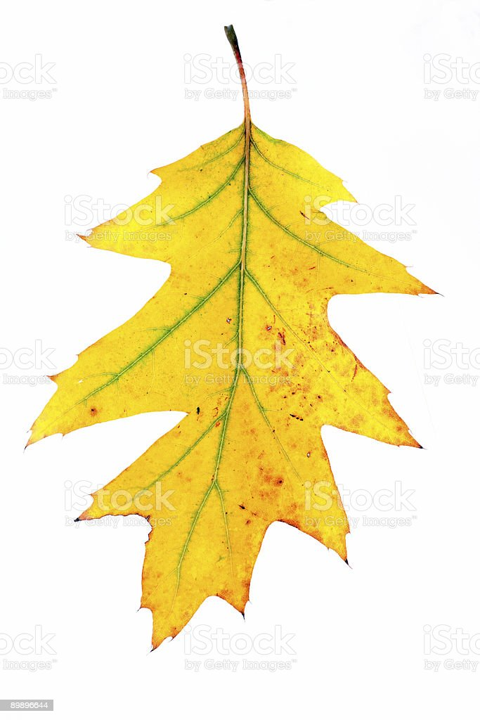 leaf royalty-free stock photo