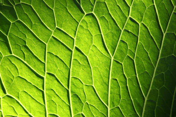 Leaf Leaf, close-up. chlorophyll stock pictures, royalty-free photos & images