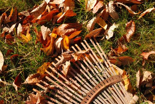 Leaf rake on lawn with autumn leaves.