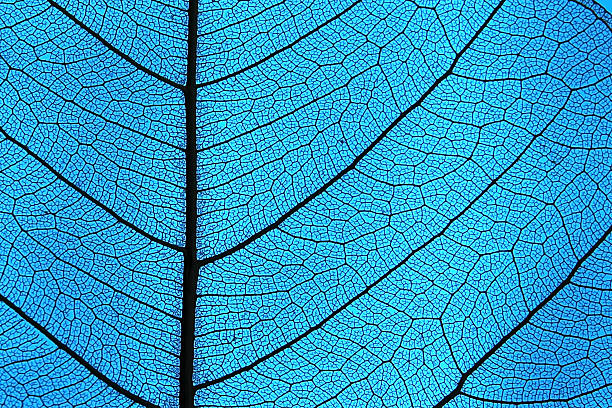 Leaf ribs and veins Leaf detail showing ribs and veins in back light microscopic image stock pictures, royalty-free photos & images