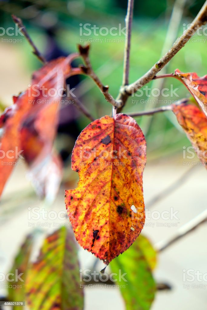 Leaf sear dry red yellow on branch stock photo