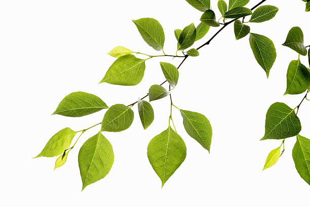 leaf series - branch plant part stock pictures, royalty-free photos & images