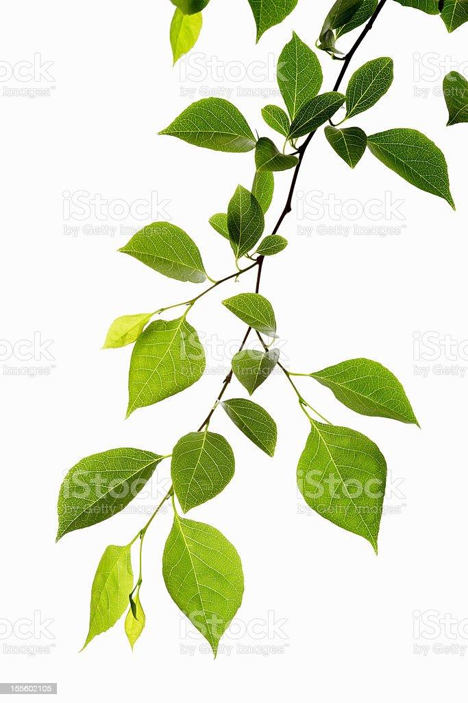 Leaf Series royalty-free stock photo