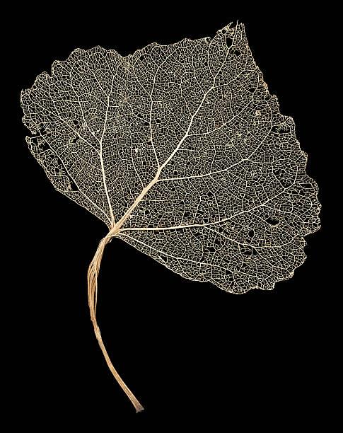 Leaf Skeleton Network stock photo