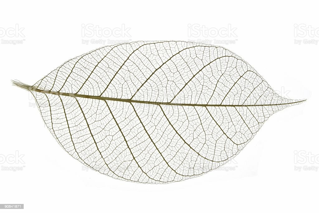 Leaf Skeleton #2 stock photo
