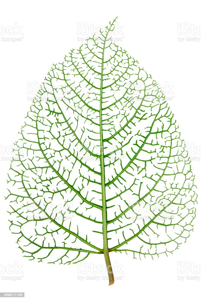 leaf skeleton veins stock photo