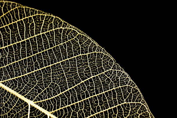 Leaf skeletons  showing the veins on a black background - Photo