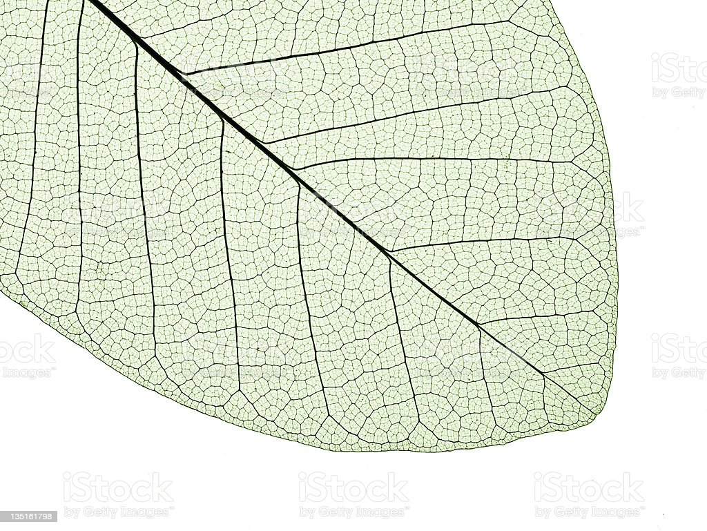 leaf structure royalty-free stock photo