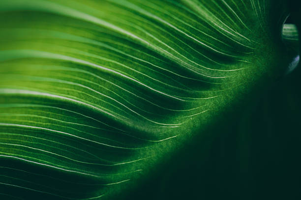 superfície de folha de macro, dof raso - natureza close up imagens e fotografias de stock