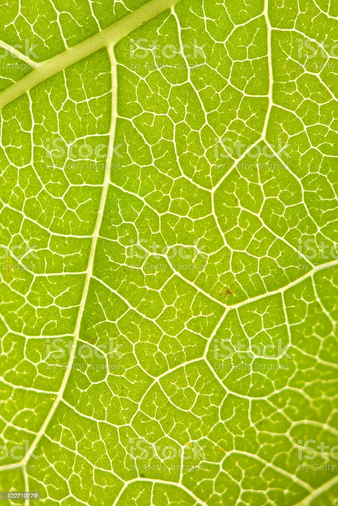 Leaf surface, veins lit from behind, nature background stock photo