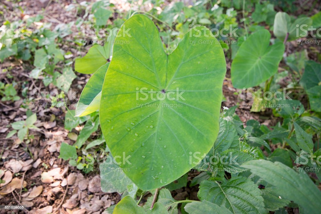 Leaf Taro stock photo