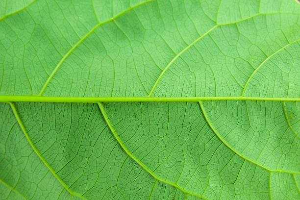 leaf texture. abstract leaf background. - hair grow cyclus stockfoto's en -beelden