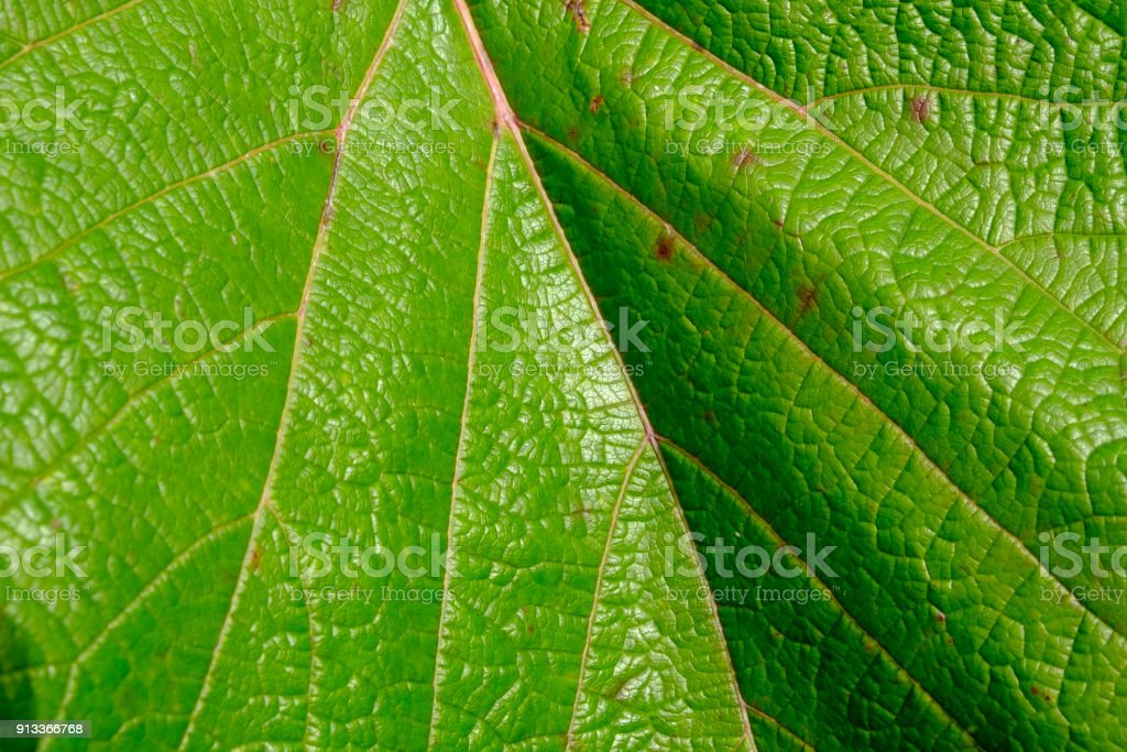 Leaf texture in sunshine