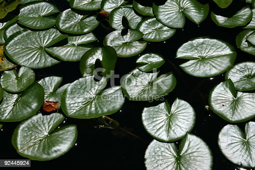 istock Leaf Texture Of Water Lily 92445924