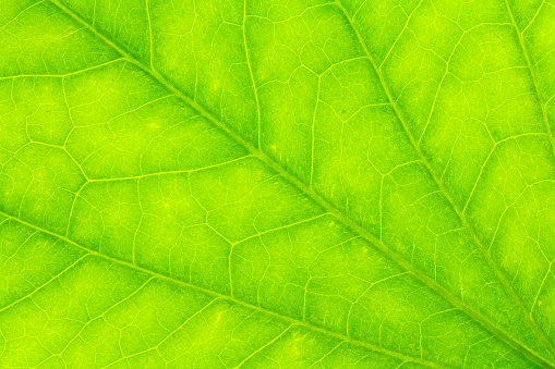 Leaf Texture Or Leaf Background Abstract Green Leaf Texture