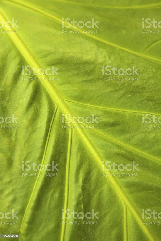 Leaf, Tropical, Green, Close Up, Background royalty-free stock photo