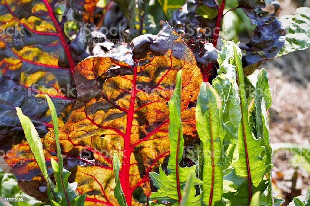Leaf vegetables in garden including chard and lettuce stock photo